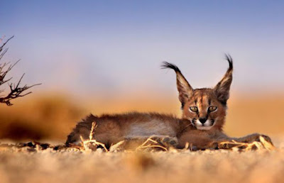 A young Caracal laying in the deserts of Iran