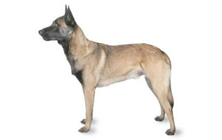 Everything about your Belgian Malinois