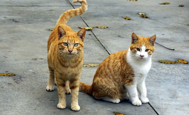Cute Yellow and White Cats Adorable  Pets HD Wallpaper