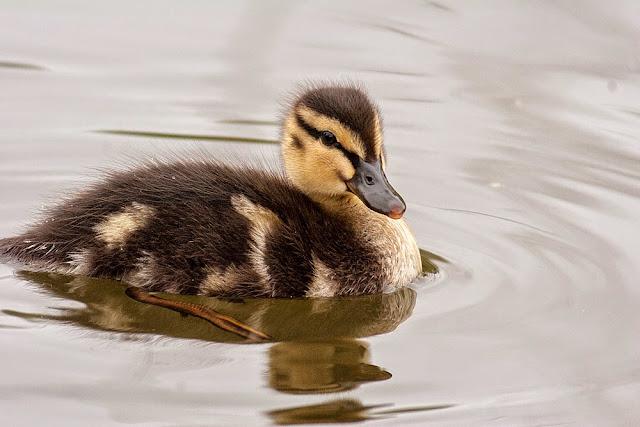 Mallard Duckling - Lodge Lake, Milton Keynes
