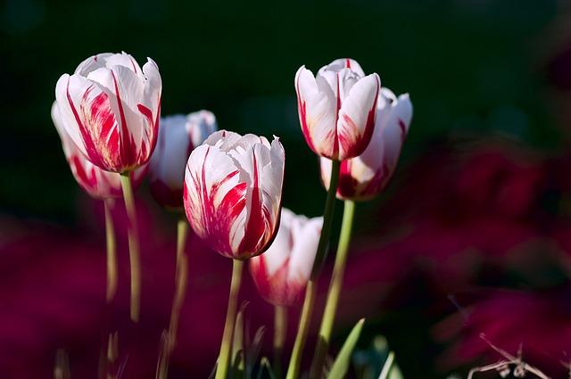 hoa tulip hồng, tím đẹp nhất 2