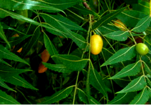 Natural Insect Control With Leaves And Seeds Of Neem