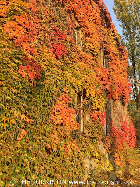Facade overgrown with bright red and golden autumn leaves. Autumn foliage.