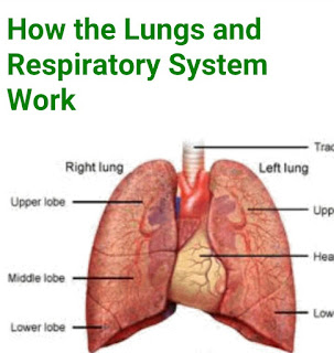 HOW THE LUNGS AND RESPIRATORY SYSTEM  WORK