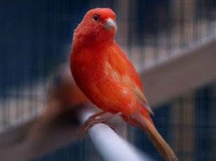 2 Ciri Ciri Burung Kenari Cacingan Dan Cara Pengobatannya Paling Ampuh