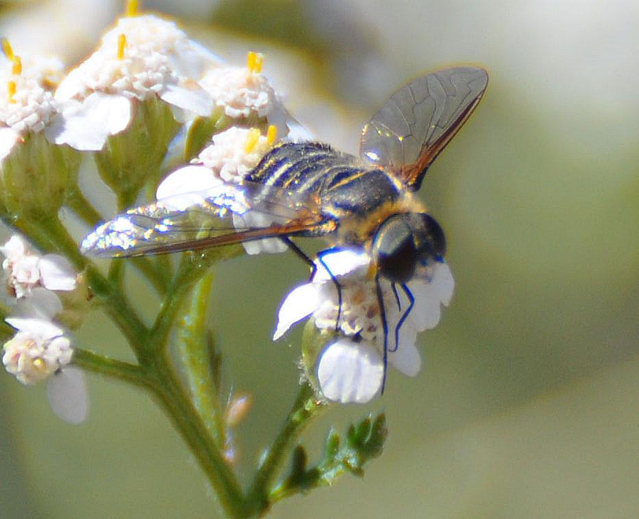 Mother Nature's Backyard - A Water-wise Garden: Bee Flies ...