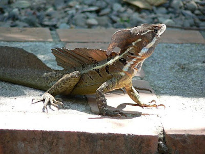 The basilisk lizard baffles evolutionists by the way it runs across water. Also, it is clearly the product of the Master Engineer.