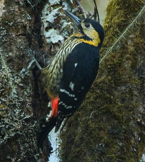 Birds of India - Photo of Darjeeling woodpecker - Dendrocopos darjellensis