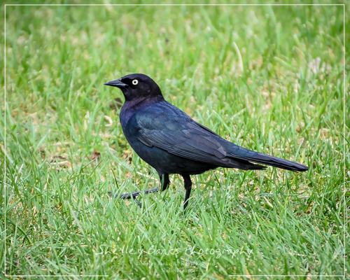 Male Brewer's Blackbird. Copyright © Shelley Banks, all rights reserved