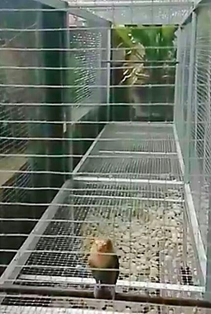 alasan umbaran penting untuk burung kontes