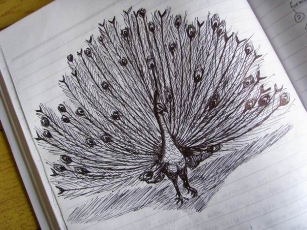 Sketsa Burung Merak Traffic Club