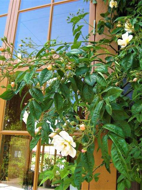 Rose som lener seg mot døren. Trädgårdsföreningen i Gøteborg