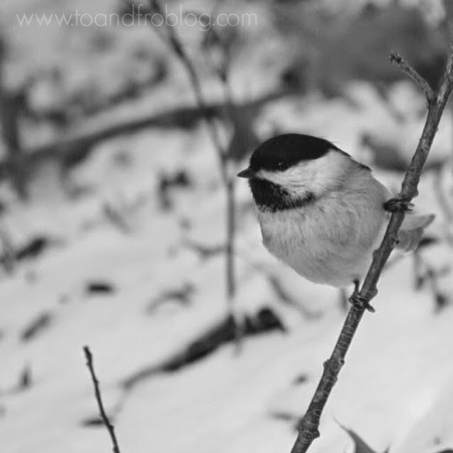 chickadee High Park