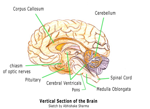 Brian Owens Image: Brain Structure And Function