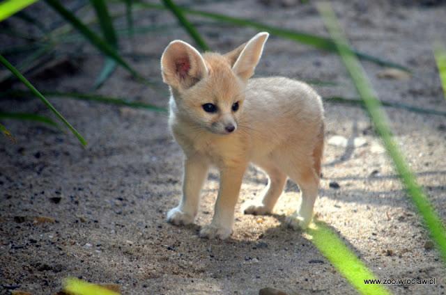 cáo sa mạc baby