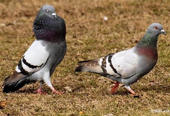 Cerita Narrative Flock of Doves dan artinya