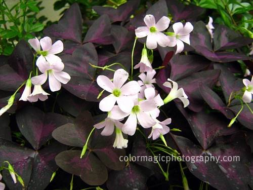 Oxalis triangularis-Purple Shamrock-Love flower