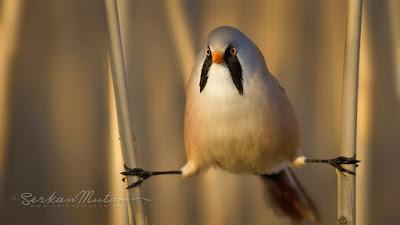 bıyıklı baştankara kuşu