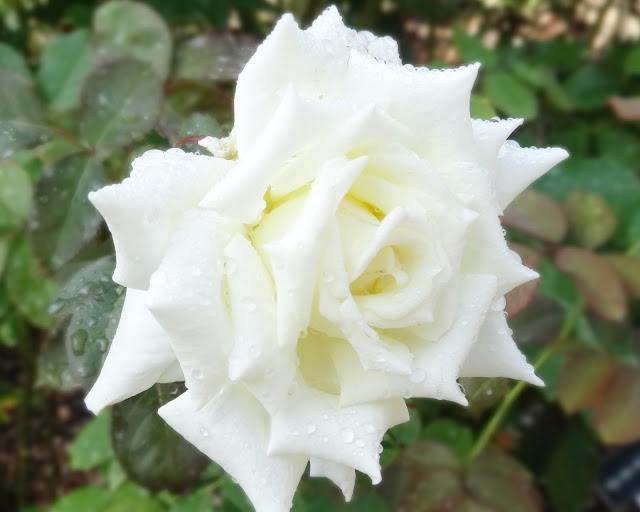 Washington Oaks Rose Garden , Palm Coast