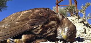 El tendido eléctrico, asesino de aves