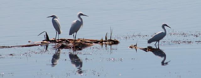 Egrets en las aguas de los canales