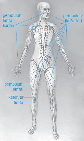 Pengertian dan Fungsi serta Letak Sistem Peredaran Kelenjar Getah Bening (Limfa)