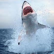 Amazing Shark Pictures