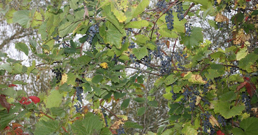 Grape Juice from Wild Grapes