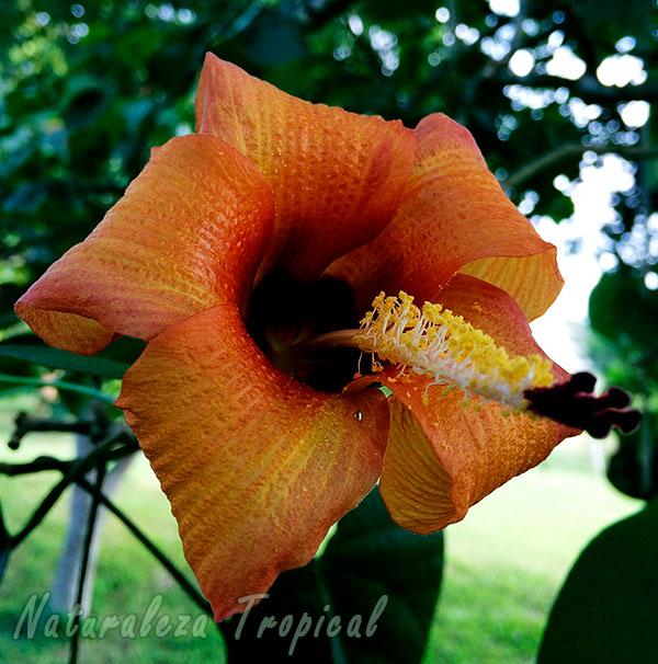 Flor del Árbol Majagua, Talipariti elatum