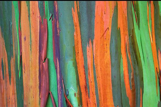I Found The Name Of Tree That Saw During My Walk In Park Last Month Do You Remember Beautiful Multi Colored Bark A Showed