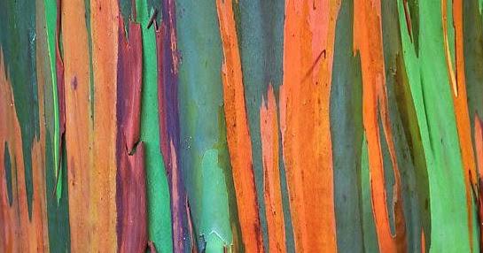 Inspire Bohemia Eucalyptus Deglupta The Rainbow