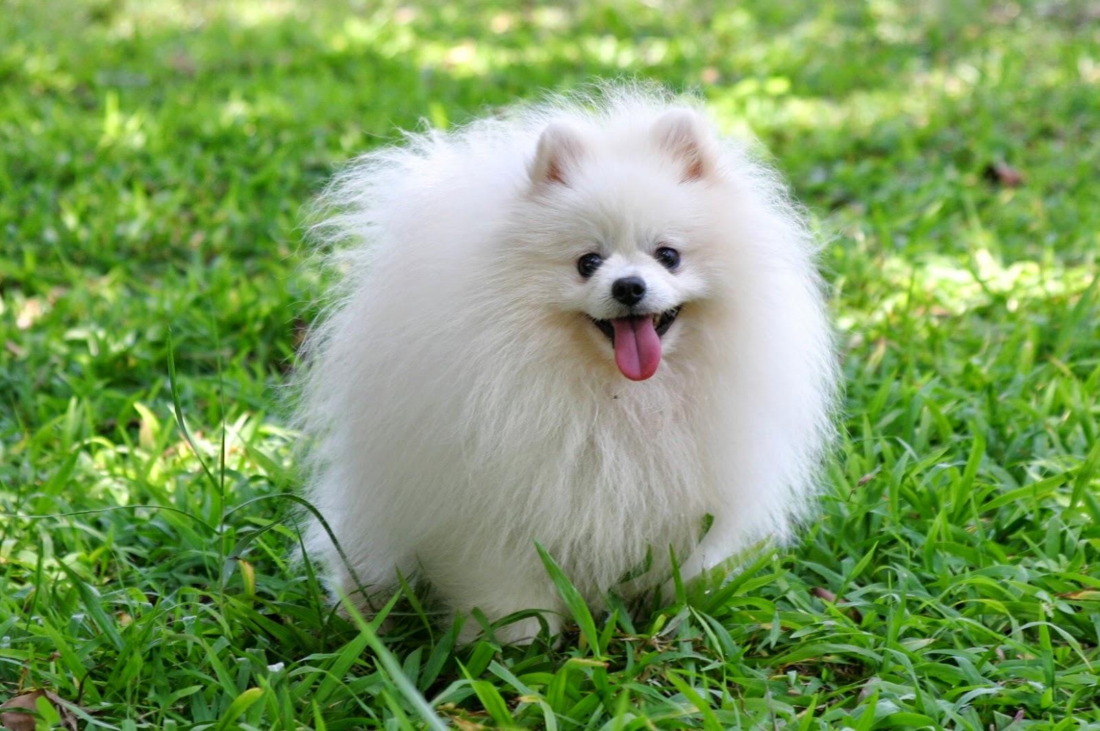 Sifat Anjing Pom Tergolong Anjing Yang Ceria Ramah Dan Agak Manja Anjing Pom Juga Dapat Menjadi Watch Dog Dalam Artian Dapat Menjaga Rumah Dan