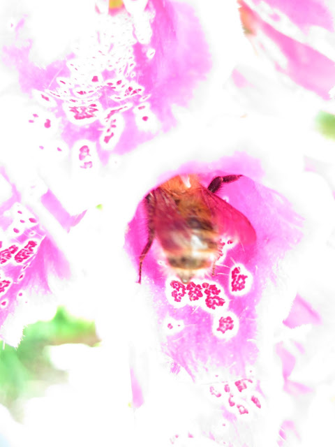 Blurred picture of bee in foxglove flower with only parts of its patterns showing.