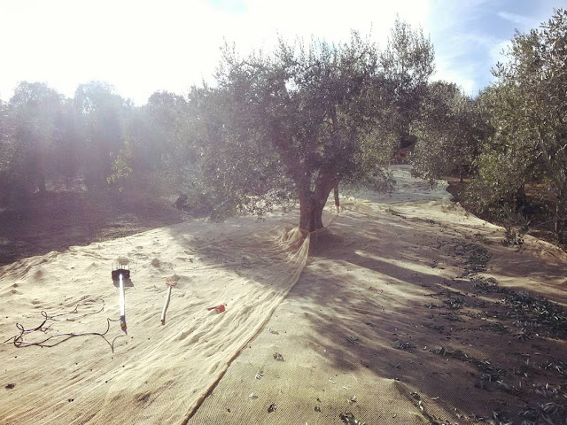 Nets to collect the olives under a tree in an olive grove