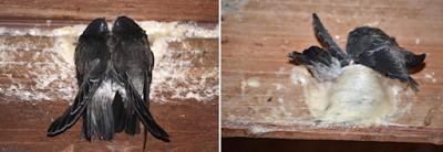 Kenapa Ada Burung Walet Yang Mati Didalam Rumah Walet ??