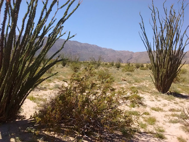 The ocotillo's dark green leaves only last a week or two.