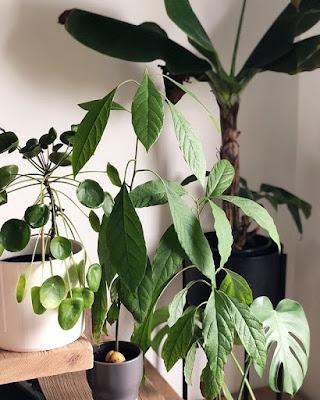 Awokado- drzewo