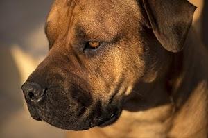 Mastiff dog đánh giá