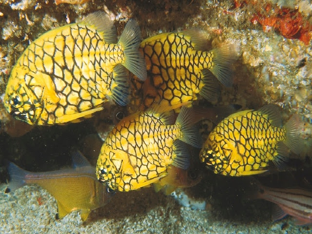 Pineapple fish school