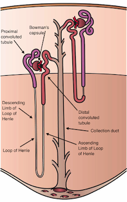 Kidney_Nephron