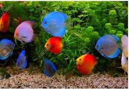 Mengenali Penyakit Discus jenis ikan hias air tawar