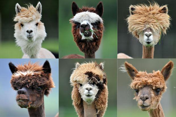 Assim como na lhama, o hábito de cuspir também é comum na alpaca, que o utiliza para mostrar agressividade ou como método de defesa, mas ela é muito dócil.
