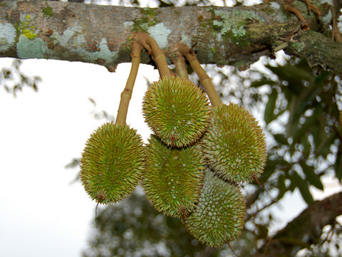 durian info durian crop production cycle and orchard