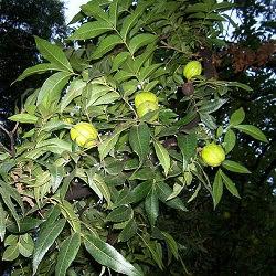 Nogal criollo Juglans australis
