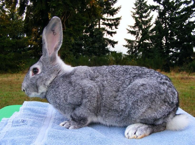Kelinci Besar dan Rakasasa ternak kuleinci bulu kelinci