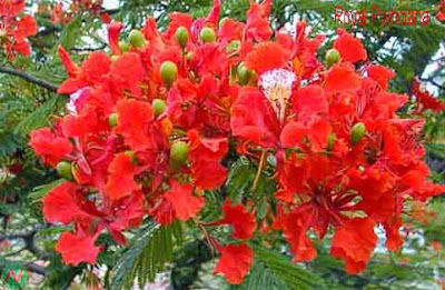 royal poinciana flower, royal poinciana