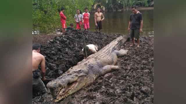 Buaya Raksasa ditangkap di Sungai Sebangau Besar