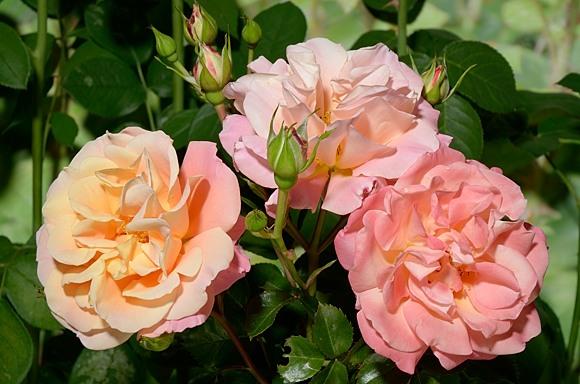 Cubana rose сорт розы фото