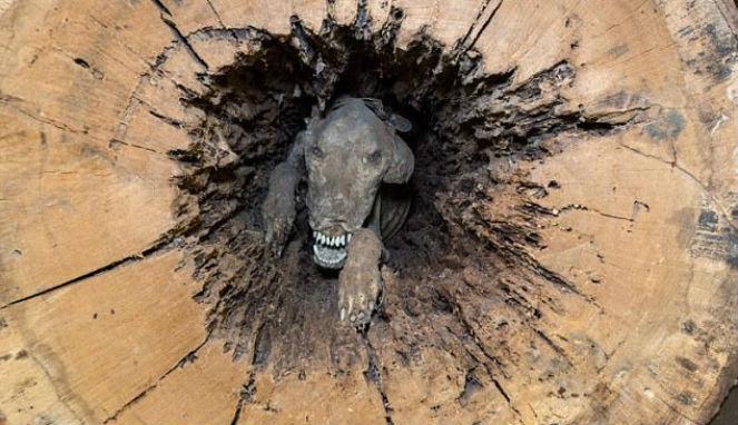 Potong Batang Pohon, Penebang Temukan Mumi Anjing di Dalamnya