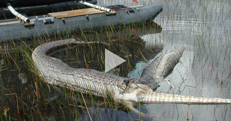 This Snake tried to eat a whole Alligator, but its too big for its body
